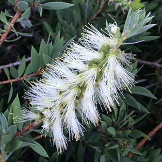 The less common white bottlebrush