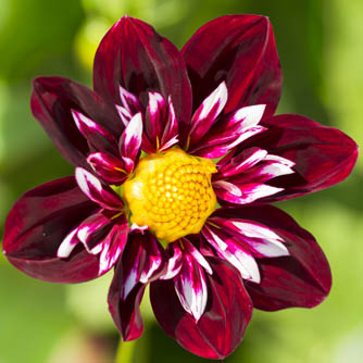 Fancy collarette dahlia