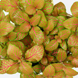 The eye-catching lime green and red veined fittonia