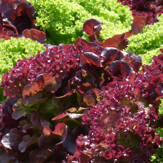 "Very distinctive ""Lollo Rossa"" lettuce with red frilled leaves"