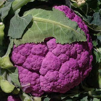 Yes cauliflower can be purple!