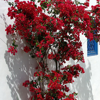 Scarlet red bougainvillea is unmissable against this white wall