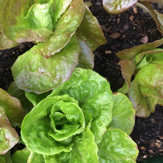 Young green and bronze mignonette lettuces