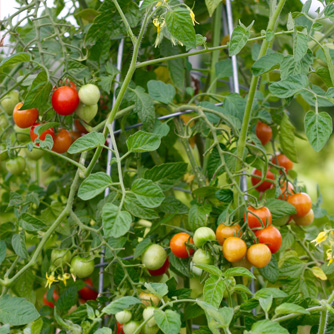 Healthy tomato plant with ripening fruit