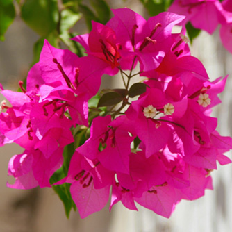 Bougainvilleas are loved for their intense colours