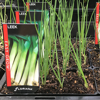 Leeks transplant easily from punnets