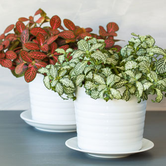 Fittonia are well suited to being grown in small pots