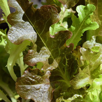 Green and bronze oakleaf lettuces are a loose leaf type