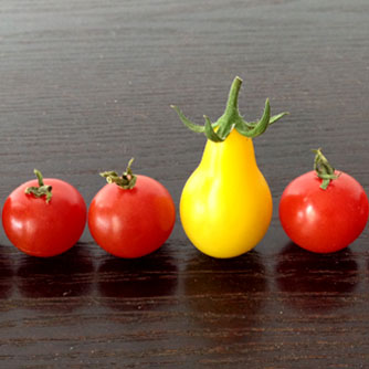 The unusual yellow pear tomato among regular cherry tomatoes
