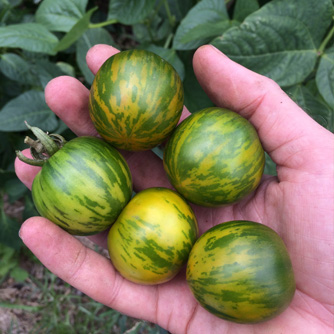 Green zebra tomatoes ready to eat