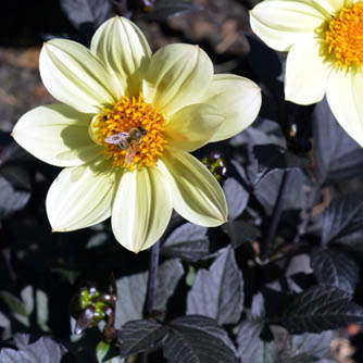 Simple anemone dahlia but with dark foliage