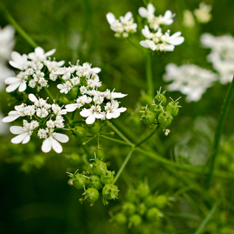 Coriander flowers and developing seed heads