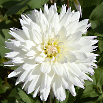Unmissable white dahlia