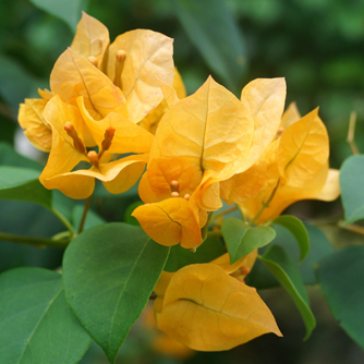 Bougainvilleas are also available in softer tones like this pale orange
