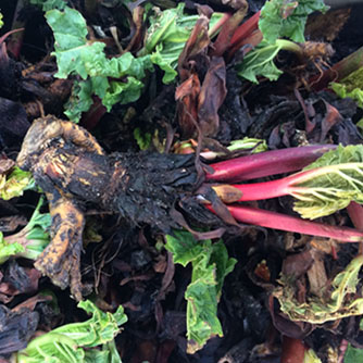 Rhubarb crown ready for planting